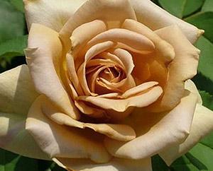 Купить саженец розы honey dijon купить комнатные цветы в красногорске